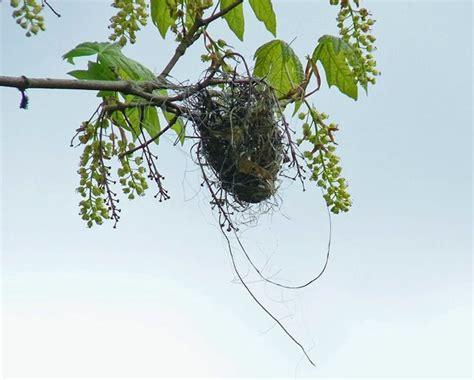 what birds make hanging nests