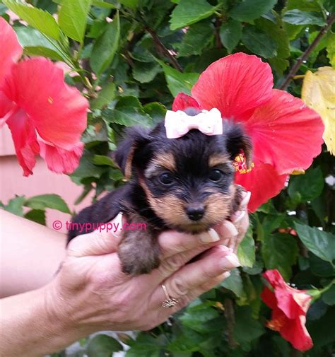 baby yorkie oh susie q tiny teacup yorkie baby tinypuppy