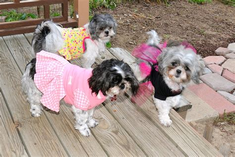 shih tzu dresses dresses same shih tzu different day