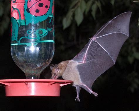 Bat Feeder the bat with the tongue mexican tongued bat
