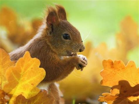 animal seasons squirrels autumn 1848358784 17 best images about fall colors with animals on autumn animals search and kitty