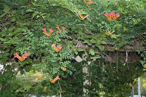 trumpet vine donna s garden