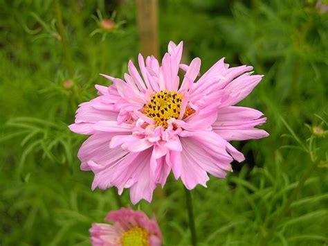 filecosmos bipinnatus double click flower pxjpg wikipedia