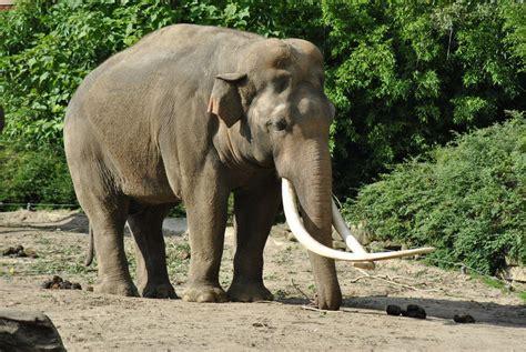 Elephant   Animal Wildlife