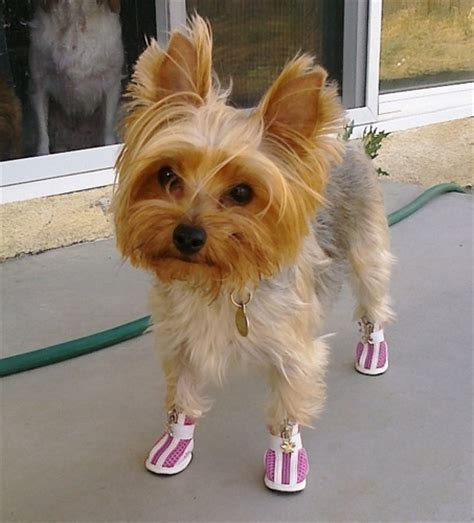 boots for yorkies who doesn t a yorkie in sneakers dogs wearing sneakers yorkie