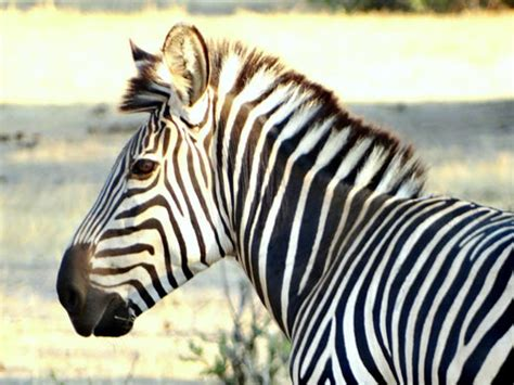 what color is a zebra photo friday zebra portrait color vs black white get