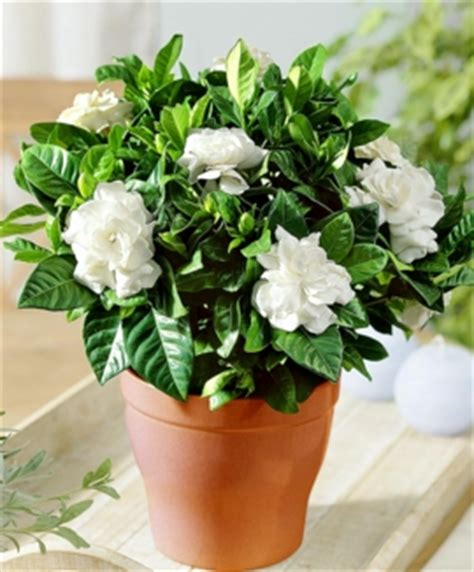 fiori di gardenia piantine come centrotavola che ne dite p 225 2