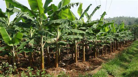 Benih Pisang Cavendish Malaysia haran seni cara menanam pisang