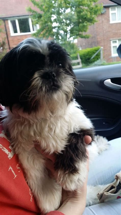shih tzu years 1 year shih tzu for sale 28 images 1 year shih tzu for sale middlesbrough