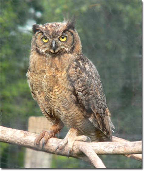 great horned owl bird cams explore rachael edwards