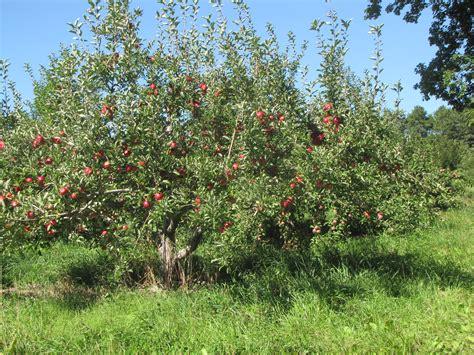 apple tree it s new england apple day new england apples