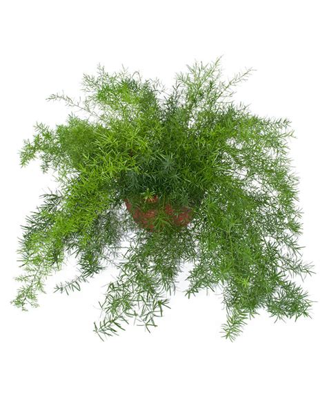 House Design Inspiration by Buy House Plants Now Sprenger S Asparagus Fern Bakker Com