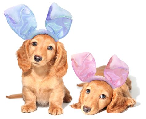 easter puppy image gallery easter dogs