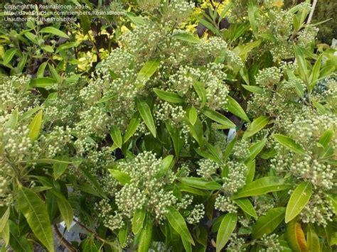 Dural Nursery Sydney by Plantfiles Pictures Lemon Scented Myrtle Sweet Verbena