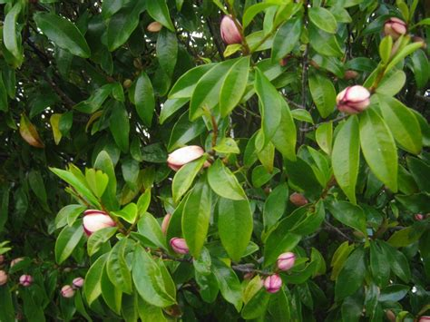 growing port wine magnolias icultivate articles