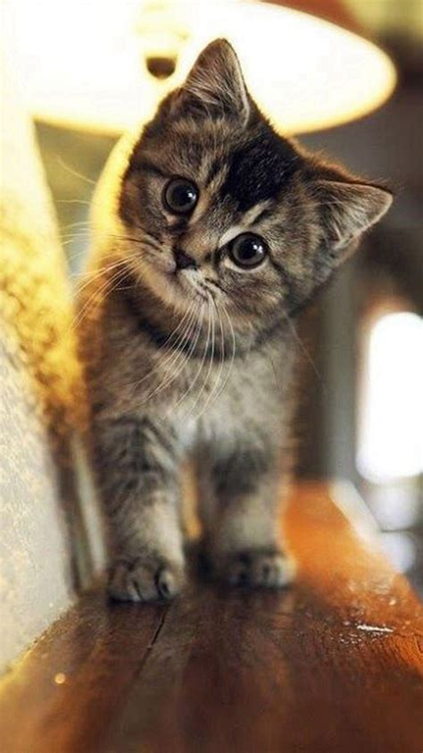 kitten wallpaper for iphone 6 cute stare at cat animal iphone 6 plus wallpaper