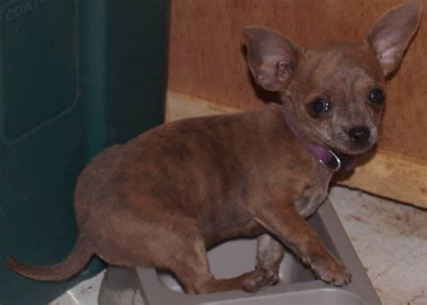 brindle names brindle chihuahua names breeds picture