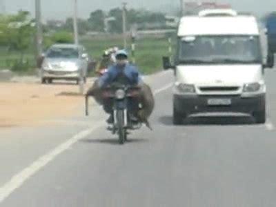 Lustige Motorrad Filme Videos by Kuh Auf Motorrad Gesehen In Hanoi Unglaublich Wie Da