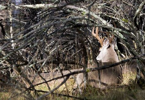 how to find deer bedding areas find these 6 types of deer beds to zero in on big bucks