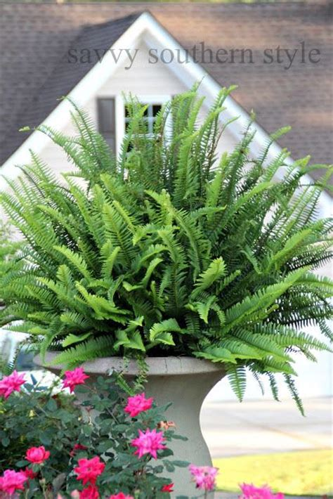1000 images about boston fern on pinterest boston ferns ferns and porches