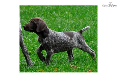 german shorthaired pointer puppies for sale in indiana german shorthaired pointer puppy for sale near kokomo indiana 5007fec7 b741