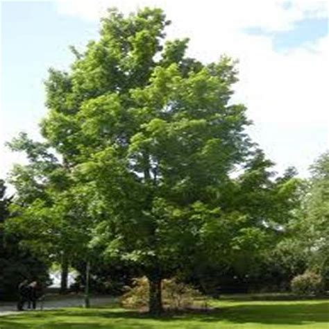 onlineplantcenter 2 gal sugar maple tree a3032g2 the home depot