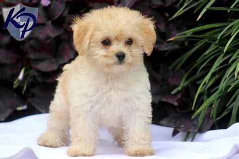 havapoo puppies for sale noah havapoo puppy havapoo puppiesforsale havapoo puppies