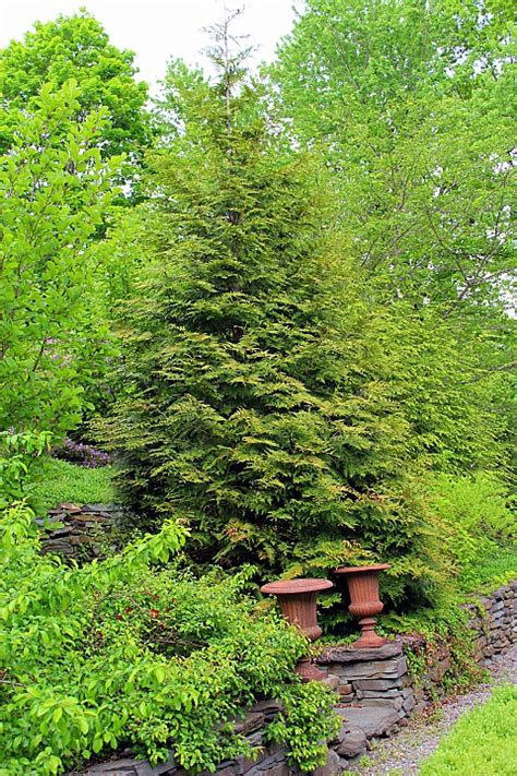privacy plant thuja green giant kevin lee jacobs