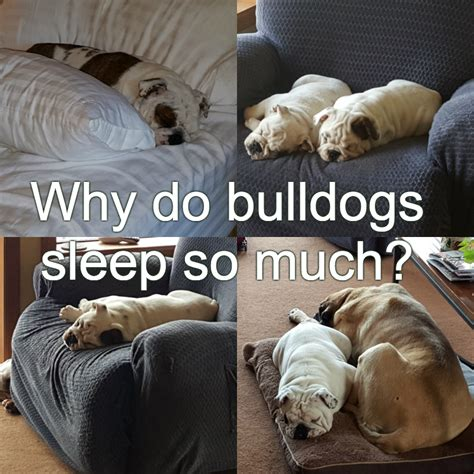 Why Does Bulldog Shed So Much by Cascade Bulldogs
