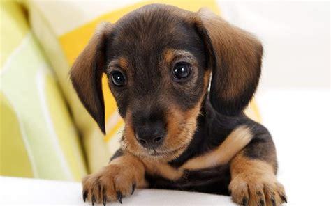 dachshund puppies ta imagenes de fotos de perro salchicha cachorro jpg memes