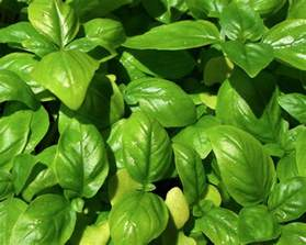 use basil as a natural insect repellant