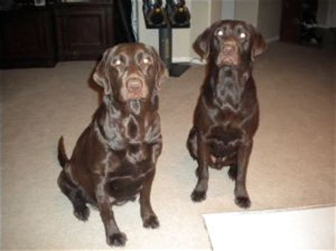 chocolate lab puppies for sale in raleigh nc labrador retriever puppies in nevada