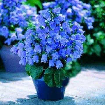 toys r us bell gardens ca 200pcs blue canterbury bell seeds bellflower home garden