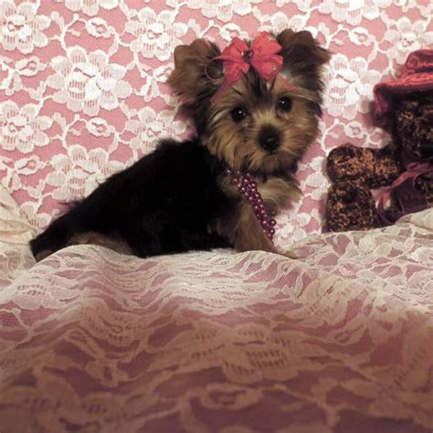 yorkie hawaii elvis terrier akc teacup yorkies for sale parti 2015 personal