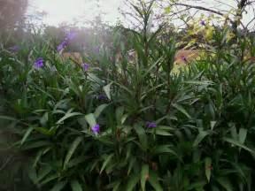 a garden in southwest georgia mexican petunia ruellia