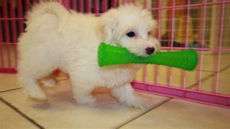 pugs for sale in atlanta ga white coton de tulear puppies for sale atlanta ga at puppies for sale local