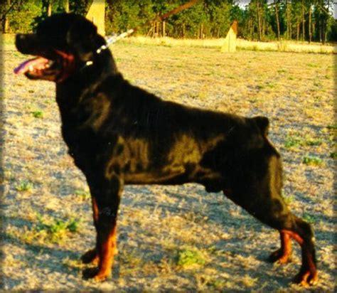 norcal rottweilers jeneck s flash rottweiler stud dogs eckart salquist jenecks rottweilers