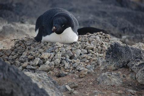 the birds nest penguin antarctica5p adelie penguin