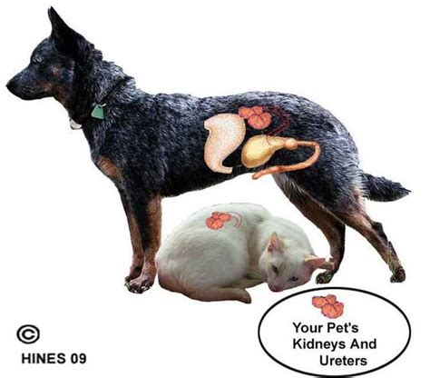 kidney failure in puppies kidney disease in dogs and cats chronic renal problems chronic renal failure crf