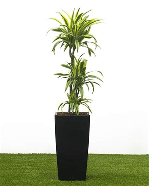 house plants uk tree lemon and lime in a 30cm cubico self watering container house of plants