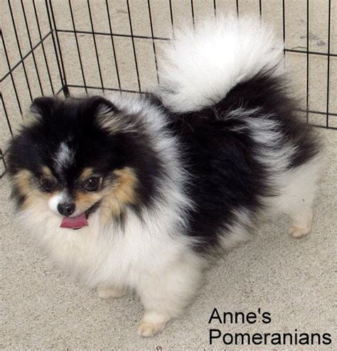 annes pomeranians s pomeranians specializing in parti and colors dogs