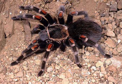 Brachypelma Auratum Baby Tarantula 1 brachypelma auratum schmidt 1992 guerrero state mexico tarantulas bird spiders