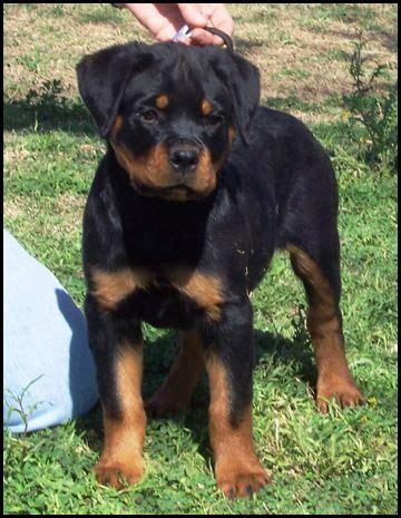 best rottweiler breeders in us best 25 rottweiler puppies ideas on puppy breeds rottweiler and
