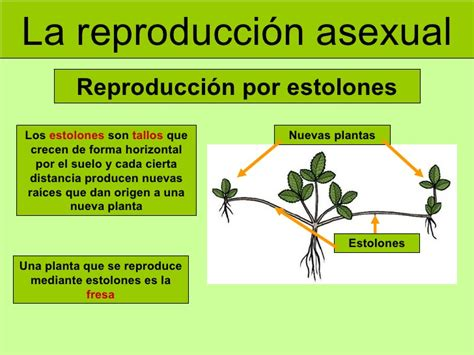imagenes de flores que se reproducen asexualmente datoonz com tipos de plantas que se reproducen