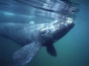 southern right whale facts and pictures australian animals