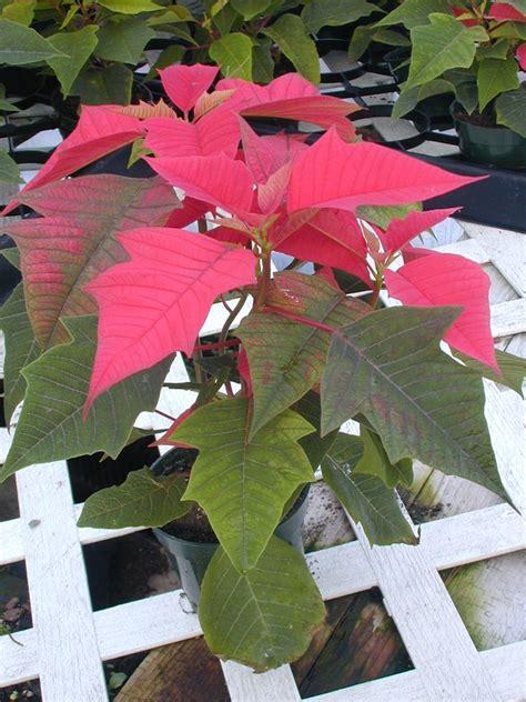 Pupuk Perangsang Bunga Hias gizi dan kuliner by budi tanaman hias poinsettia atau kastuba