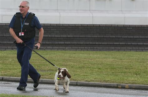 how to conceal drugs from a sniffer sniffing airport dogs find cheese sausage but not drugs
