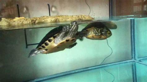 vasche per tartarughe acquario per tartarughe 100 litri
