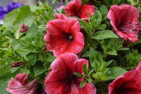 fiori di ibisco proprietà karkad 232 propriet 224 e benefici dei fiori di ibisco