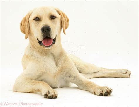 yellow labrador puppies pet cremation package